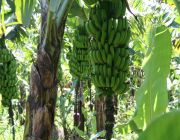 Organic Bananas South Coast