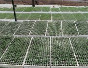 TALBORNE SEEDLING PROPAGATION 006